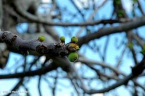 figs-on-tree-pergamum-tb041505995-bibleplaces